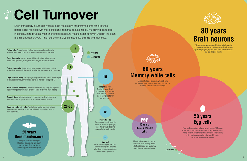 Scientific infographics focusing on cell lifespans
